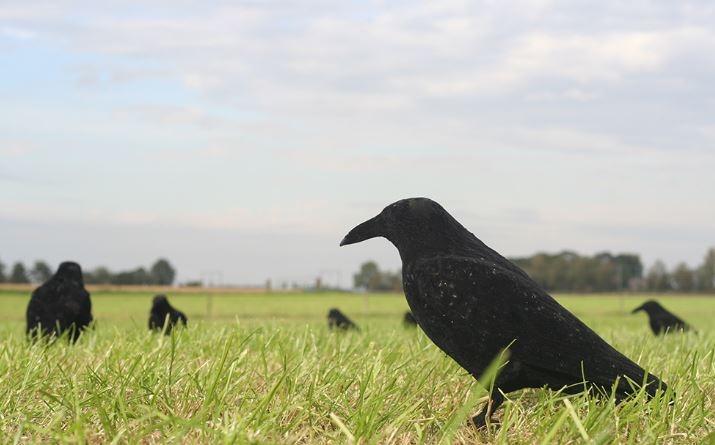 Lokvogel Kraai geflockt  incl. pin en voet 41cm